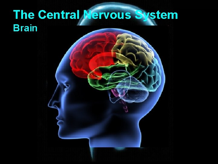 The Central Nervous System Brain