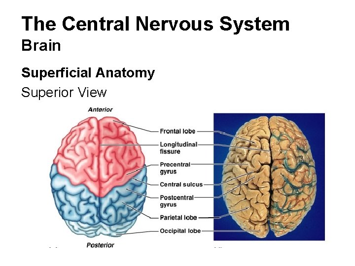 The Central Nervous System Brain Superficial Anatomy Superior View
