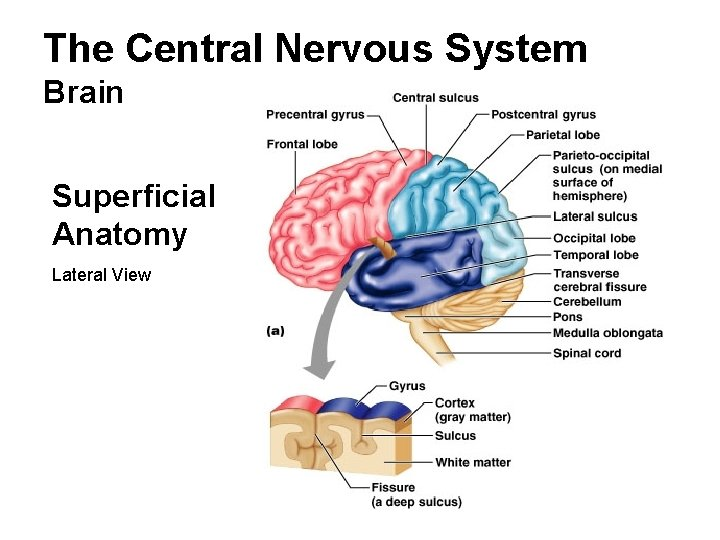 The Central Nervous System Brain Superficial Anatomy Lateral View