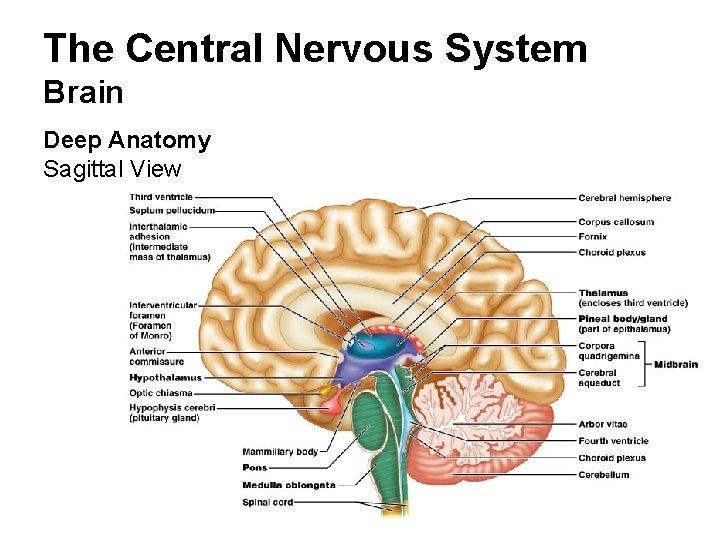 The Central Nervous System Brain Deep Anatomy Sagittal View