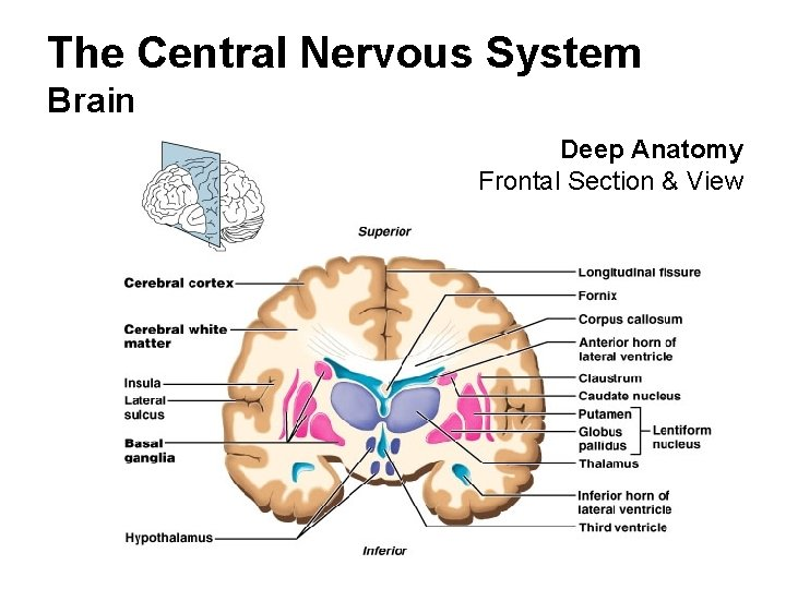 The Central Nervous System Brain Deep Anatomy Frontal Section & View