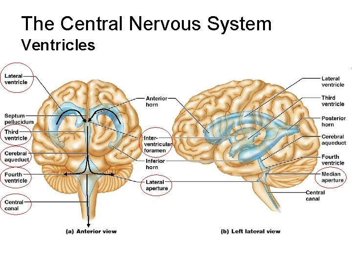 The Central Nervous System Ventricles