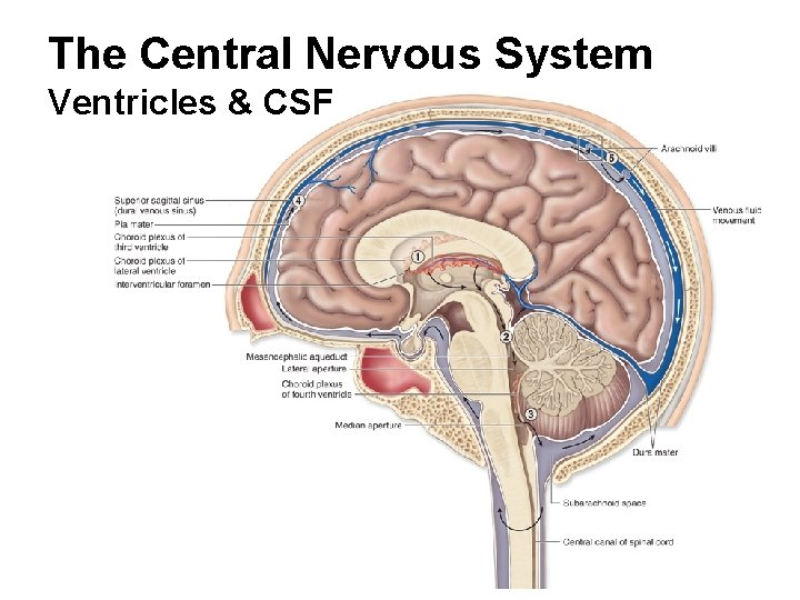 The Central Nervous System Ventricles & CSF