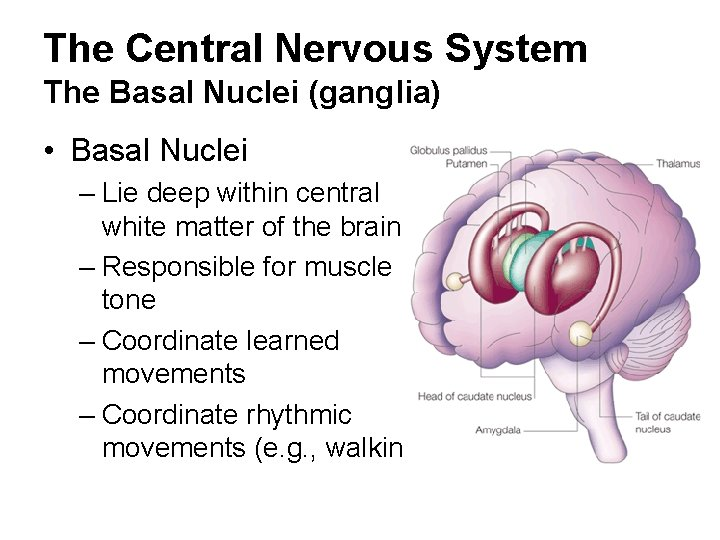 The Central Nervous System The Basal Nuclei (ganglia) • Basal Nuclei – Lie deep