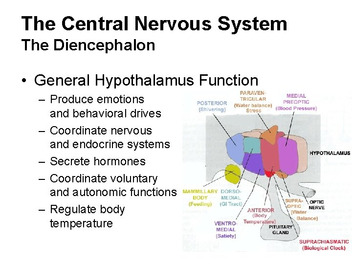 The Central Nervous System The Diencephalon • General Hypothalamus Function – Produce emotions and