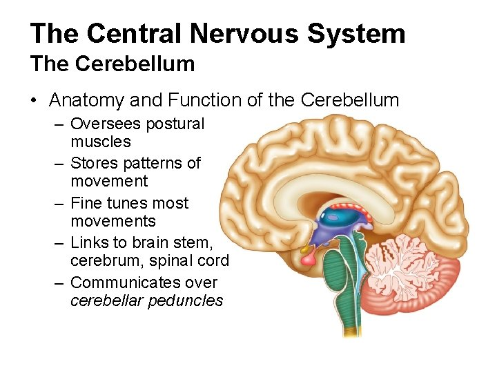 The Central Nervous System The Cerebellum • Anatomy and Function of the Cerebellum –