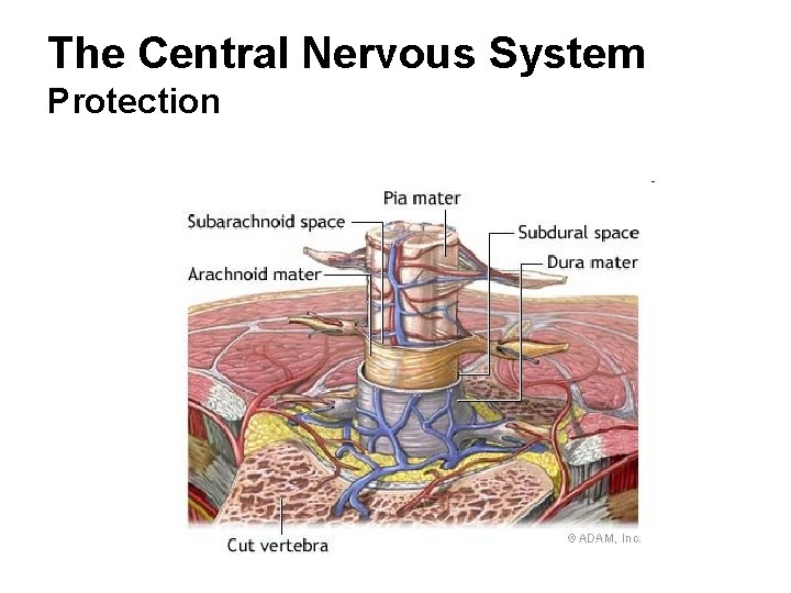 The Central Nervous System Protection