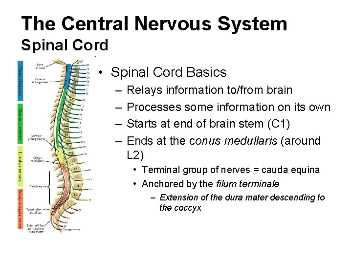The Central Nervous System Spinal Cord • Spinal Cord Basics – – Relays information