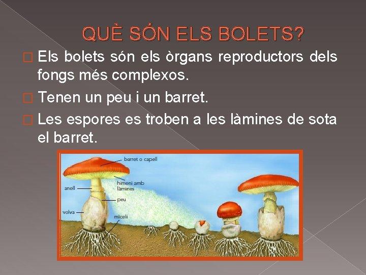 QUÈ SÓN ELS BOLETS? � Els bolets són els òrgans reproductors dels fongs més