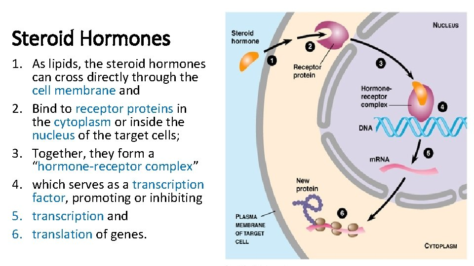 What is a steroid hormone golden dragon scimitar