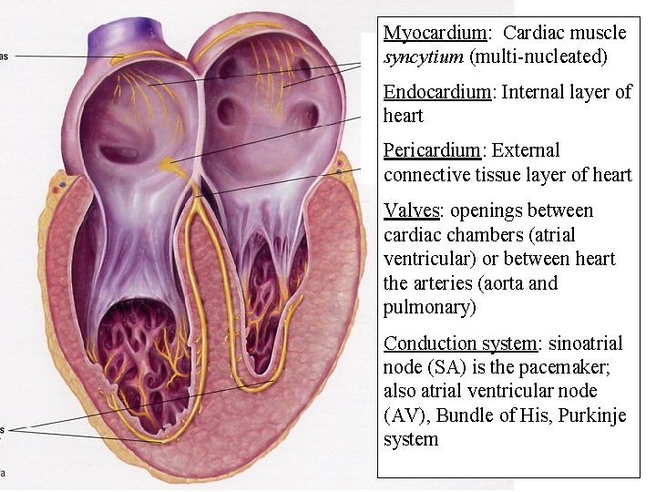 Myocardium: Cardiac muscle syncytium (multi-nucleated) Endocardium: Internal layer of heart Pericardium: External connective tissue