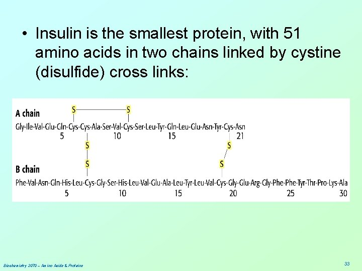 • Insulin is the smallest protein, with 51 amino acids in two chains