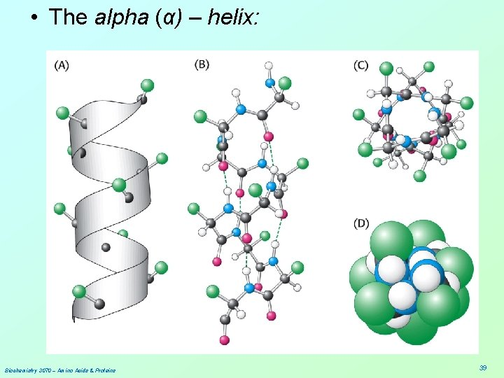 • The alpha (α) – helix: Biochemistry 3070 – Amino Acids & Proteins