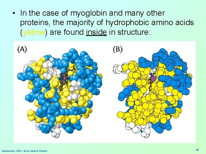 • In the case of myoglobin and many other proteins, the majority of
