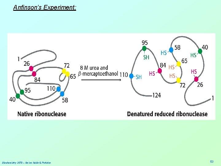 Anfinson's Experiment: Biochemistry 3070 – Amino Acids & Proteins 53