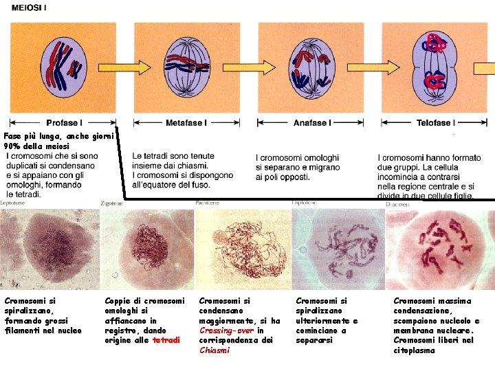 Fase più lunga, anche giorni 90% della meiosi Cromosomi si spiralizzano, formando grossi filamenti
