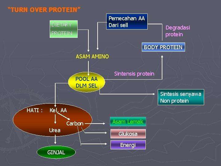 """""""TURN OVER PROTEIN"""" Pemecahan AA Dari sell DIETARY PROTEIN Degradasi protein BODY PROTEIN ASAM"""