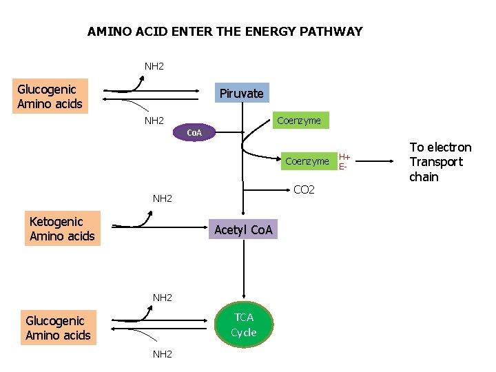 AMINO ACID ENTER THE ENERGY PATHWAY NH 2 Glucogenic Amino acids Piruvate NH 2