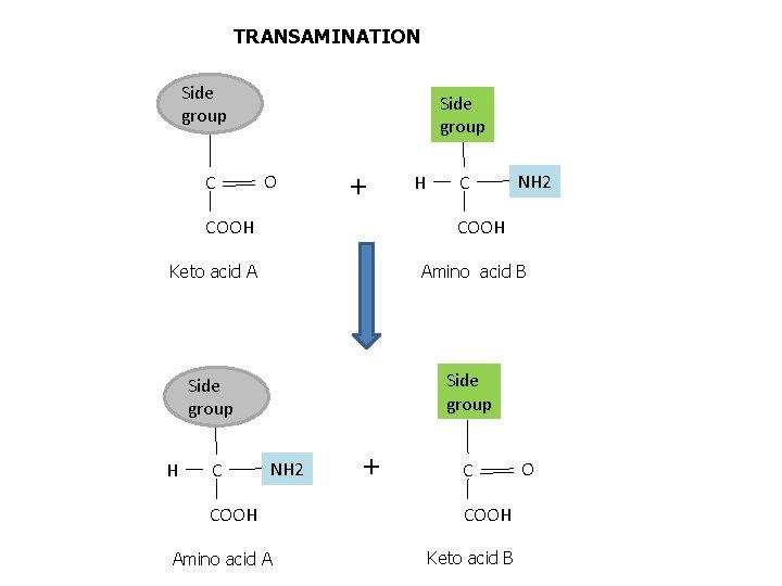 TRANSAMINATION Side group C Side group O + COOH H C NH 2 COOH
