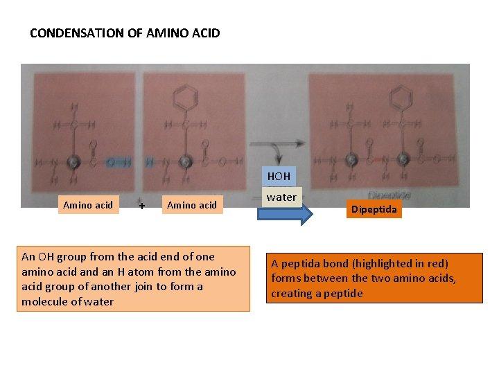 CONDENSATION OF AMINO ACID HOH Amino acid + Amino acid An OH group from