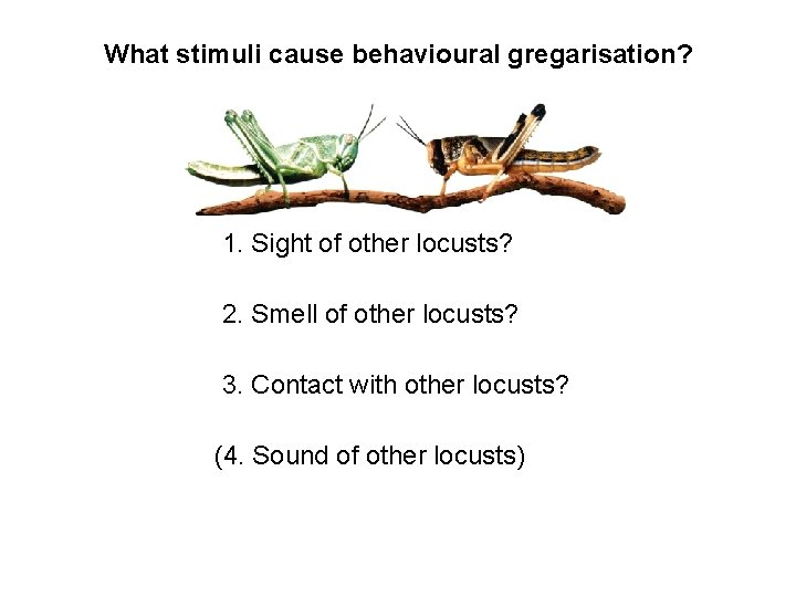 What stimuli cause behavioural gregarisation? 1. Sight of other locusts? 2. Smell of other