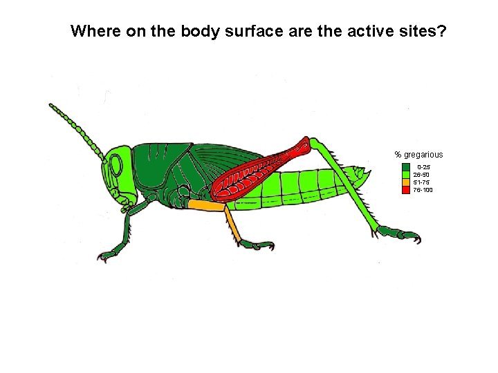 Where on the body surface are the active sites? % gregarious 0 -25 26