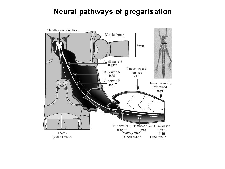 Neural pathways of gregarisation *