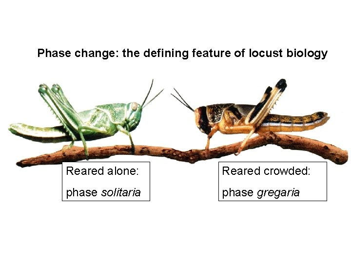 Phase change: the defining feature of locust biology Reared alone: Reared crowded: phase solitaria