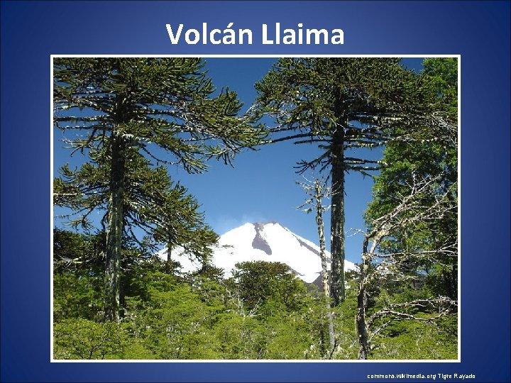Volcán Llaima commons. wikimedia. org Tigre Rayado