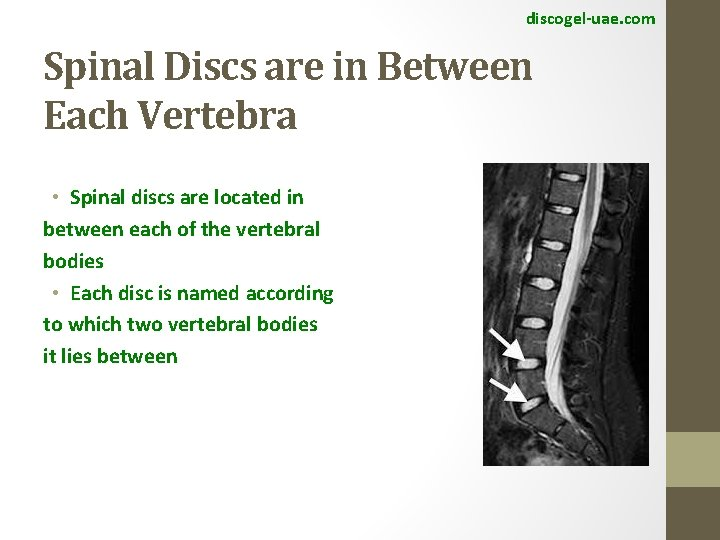 discogel-uae. com Spinal Discs are in Between Each Vertebra • Spinal discs are located