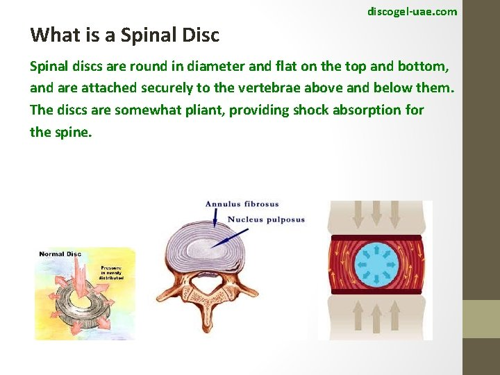 discogel-uae. com What is a Spinal Disc Spinal discs are round in diameter and