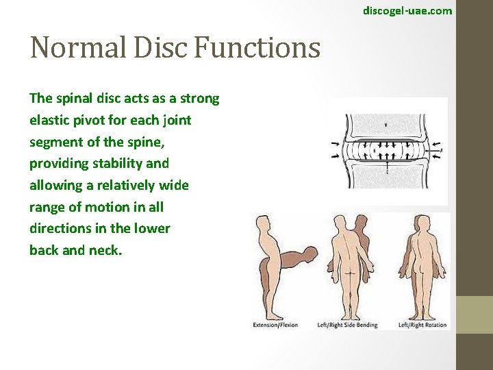 discogel-uae. com Normal Disc Functions The spinal disc acts as a strong elastic pivot
