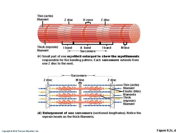 Thin (actin) filament Thick (myosin) filament Z disc I band H zone A band