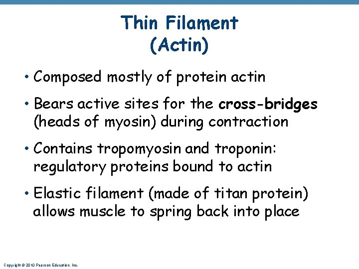Thin Filament (Actin) • Composed mostly of protein actin • Bears active sites for