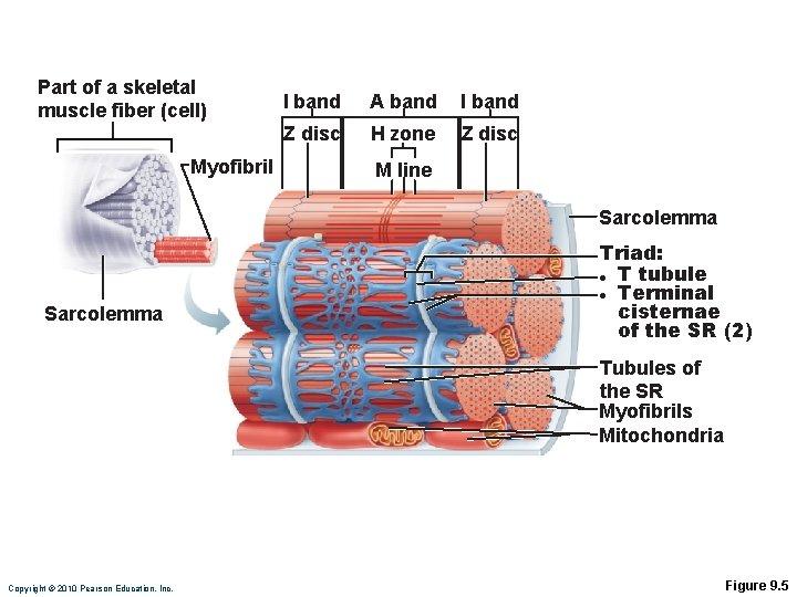 Part of a skeletal muscle fiber (cell) Myofibril I band A band I band