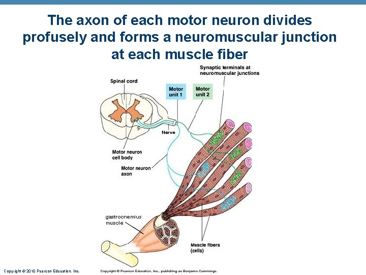 The axon of each motor neuron divides profusely and forms a neuromuscular junction at