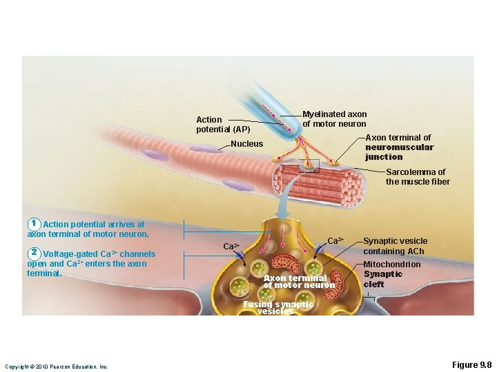 Action potential (AP) Myelinated axon of motor neuron Axon terminal of neuromuscular junction Nucleus