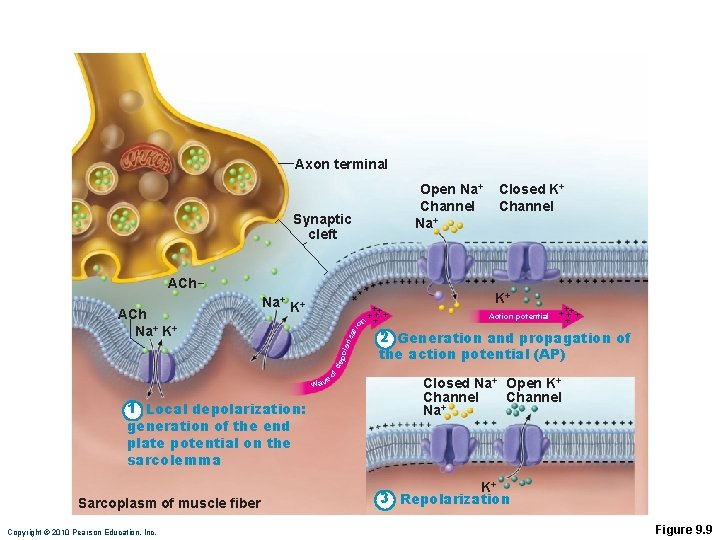 Axon terminal Open Na+ Channel Na+ Synaptic cleft ACh tio n za of de