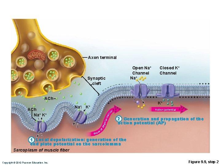 Axon terminal Open Na+ Channel Na+ Synaptic cleft ACh K+ iza tio n K+