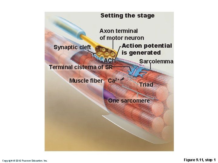 Setting the stage Axon terminal of motor neuron Action potential Synaptic cleft is generated