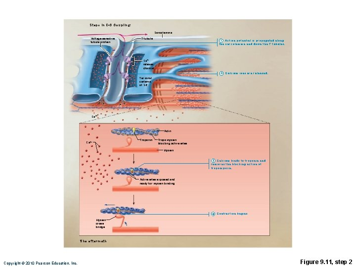 Steps in E-C Coupling: Sarcolemma Voltage-sensitive tubule protein T tubule 1 Action potential is