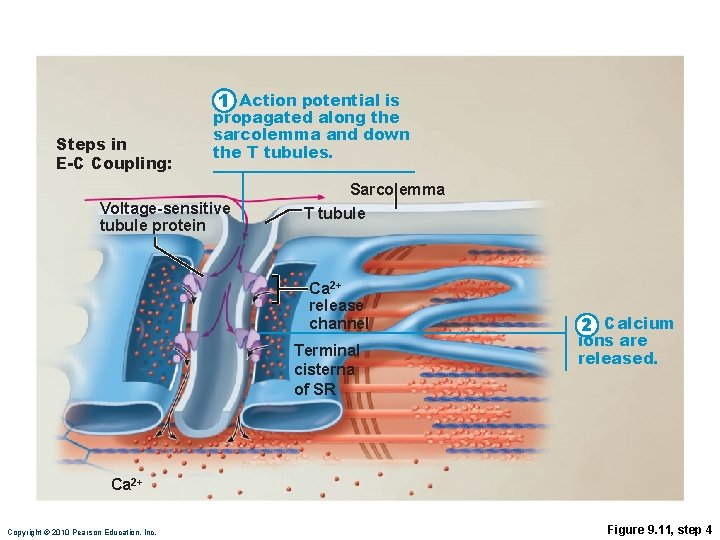1 Action potential is Steps in E-C Coupling: propagated along the sarcolemma and down