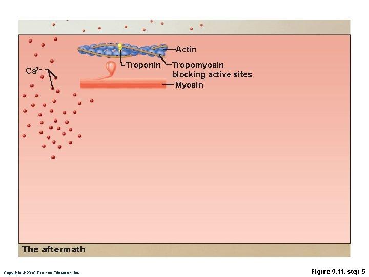 Actin Ca 2+ Troponin Tropomyosin blocking active sites Myosin The aftermath Copyright © 2010