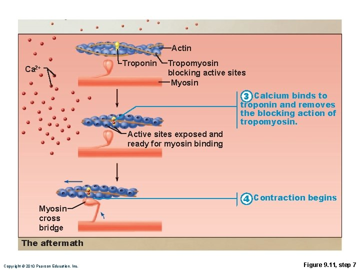 Actin Ca 2+ Troponin Tropomyosin blocking active sites Myosin 3 Calcium binds to troponin