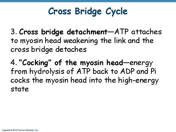 Cross Bridge Cycle 3. Cross bridge detachment—ATP attaches to myosin head weakening the link