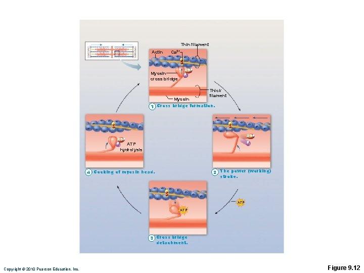 Thin filament Actin Ca 2+ Myosin cross bridge ADP Pi Thick filament Myosin Cross