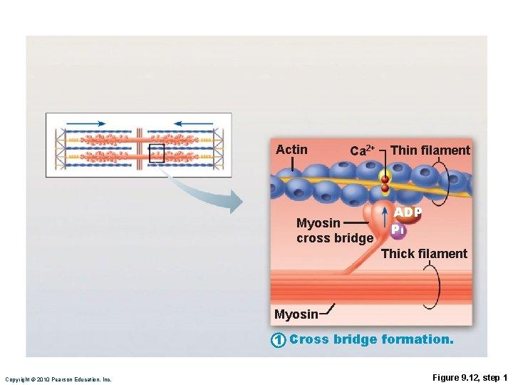 Actin Ca 2+ Myosin cross bridge Thin filament ADP Pi Thick filament Myosin 1