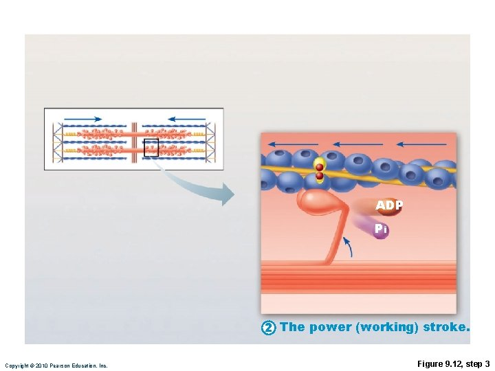 ADP Pi 2 The power (working) stroke. Copyright © 2010 Pearson Education, Inc. Figure
