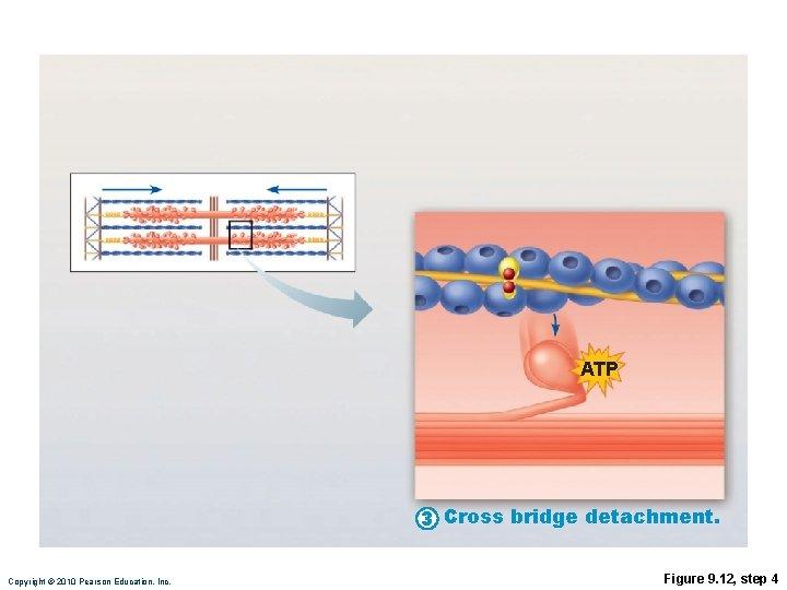 ATP 3 Cross bridge detachment. Copyright © 2010 Pearson Education, Inc. Figure 9. 12,