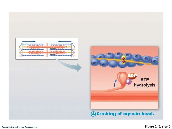 ADP ATP Pi hydrolysis 4 Cocking of myosin head. Copyright © 2010 Pearson Education,